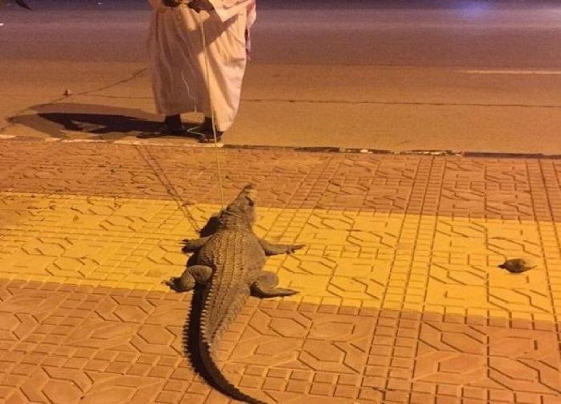 Crocodile Seen on the Streets of Riyadh, Saudi Arabia