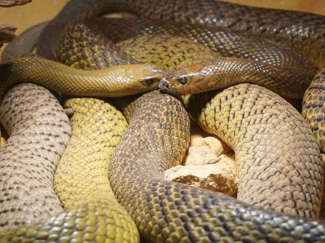 Woman sits on Mating Snakes, gets Bitten and Dies